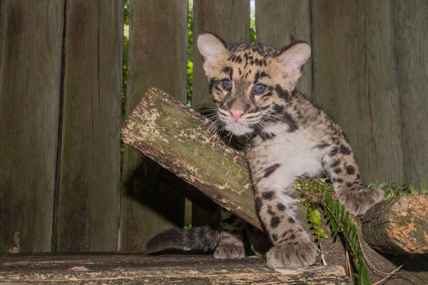 paradise news magazine 3 month old clouded leopard cubs now