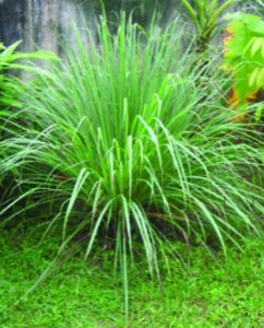 Paradise News Magazine Plants That Repel Mosquitoes